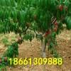 桃树苗那里有?山东泰安桃树苗品种、油桃、毛桃、桃树苗价格