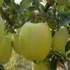 红露苹果苗品种 1公分苹果苗批发价格