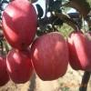 金帅苹果苗上市 矮化苹果苗市场价格
