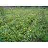红花酢浆草、葱兰、玉簪