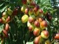 枣树苗直销价格