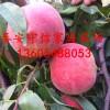 桃树苗一亩地栽多少棵、桃树苗多少钱