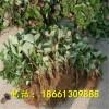 山东京郊小白草莓苗基地 青岛京郊小白小草莓苗价格 质优价廉