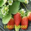 甜查理草莓苗 山东甜查理草莓苗价格 优质甜查理草莓苗资料