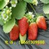 甜查理草莓苗哪里有售 泰安高新区兴红苗圃 2017草莓苗价格