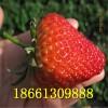 安徽草莓苗品种 红颜草莓苗 章姬草莓苗 什么时候种植最好