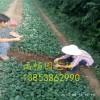 草莓苗哪里有 草莓苗价格 山东草莓苗基地批发