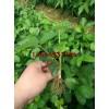 批发草莓苗  红颜草莓苗 白草莓苗等优质草莓苗