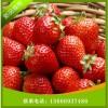 湖南红颜草莓苗 岳阳哪里有红颜草莓苗 红颜草莓苗批发基地