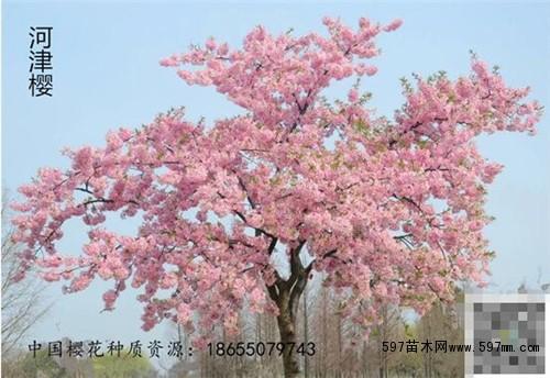 樱花凭什么征服了全世界|绿化苗木百科|行业资