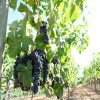 红宝石无核葡萄苗品种巨玫瑰葡萄苗包运输