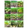 垂铃6号核桃苗简介 垂铃6号核桃树苗种植方法