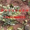 大棚种植用草莓苗价格、行情报价