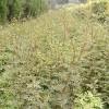 30公分 50公分 80公分高花椒苗價格