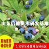 南陆蓝莓苗