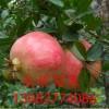 庭院种植哪种树好、石榴树苗哪里多、石榴树苗价格多少钱