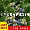 蓝金蓝莓苗_蓝金蓝莓苗供应商