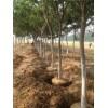 胸径12-15公分合欢树价格批发直销基地