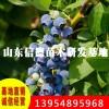 莱克西蓝莓苗