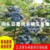 康维尔蓝莓苗