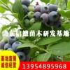 赫伯特蓝莓苗