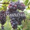 葡萄苗今年价格   早熟葡萄苗 晚熟葡萄苗  无核葡萄苗