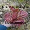 大棚用矮化香椿苗,优质矮化香椿苗价格是多少