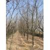 ballbet贝博网站柿子树