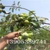 早酥红梨苗多少钱一根、早酥红梨树苗价格便宜