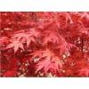 目前最新加拿大红枫参考价格2公分加拿大红枫价格多少
