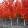 目前最新加拿大红枫参考价格5公分加拿大红枫最低价格