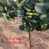 哪里卖3公分梨树苗哪里有卖的 梨树苗价格 批发梨树苗