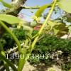 1公分2公分3公分核桃树哪里有卖、核桃苗多少钱