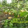 哪里卖梨树苗基地 梨树苗价格 批发梨树苗