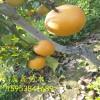 哪里有秋月梨树苗基地 梨树苗价格 批发梨树苗
