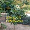 《秋月梨树苗=哪里有秋月梨树苗=秋月梨树苗多少钱价格》