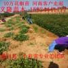 花椒树苗多少钱一棵,大红袍花椒树苗多少钱一棵?