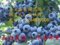 山东蓝莓苗基地
