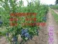 蓝莓苗基地批发