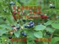 一年蓝莓苗多少钱