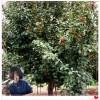 597八棱海棠樹價格 占地樹價格優惠