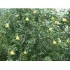 梨树价格3公分梨树价格=4公分梨树价格=5公分梨树价格