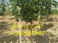 哪里有4公分梨树苗