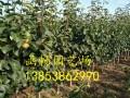 哪里有5公分梨树苗