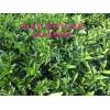 供应091无籽沃柑苗,无籽沃柑果苗,091无籽沃柑树苗