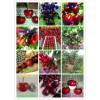 俄罗斯8号樱桃树苗报价 矮化俄罗斯8号樱桃苗品种特性