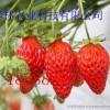 草莓苗基地-泰林农业草莓苗基地