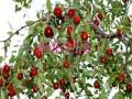 品种枣树苗