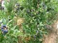 品种蓝莓苗