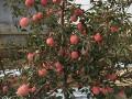 供应辽宁矮化苹果树苗